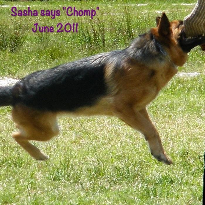 Sasha aka Chomper